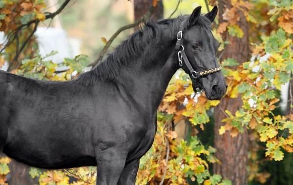 Фризская-лошадь-Описание-особенности-уход-и-цена-фризской-лошади-11