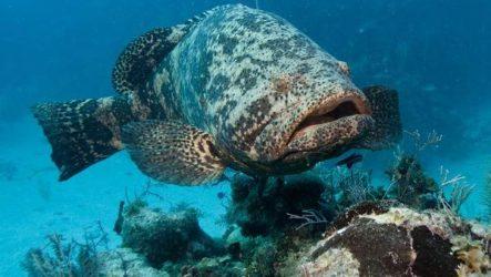 Групер рыба. Описание, особенности и среда обитания рыбы групер