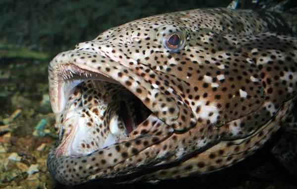Групер-рыба-Описание-особенности-и-среда-обитания-рыбы-групер-11