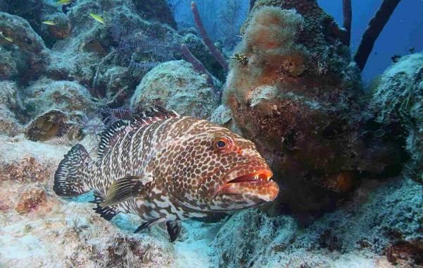 Групер-рыба-Описание-особенности-и-среда-обитания-рыбы-групер-12