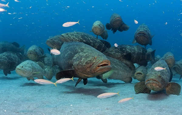 Групер-рыба-Описание-особенности-и-среда-обитания-рыбы-групер-13