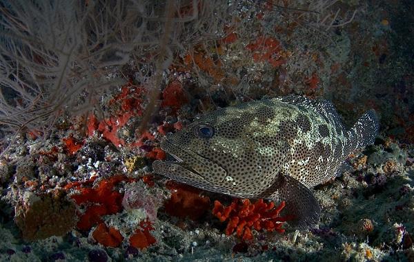 Групер-рыба-Описание-особенности-и-среда-обитания-рыбы-групер-14
