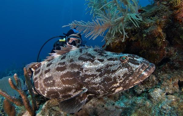 Групер-рыба-Описание-особенности-и-среда-обитания-рыбы-групер-15