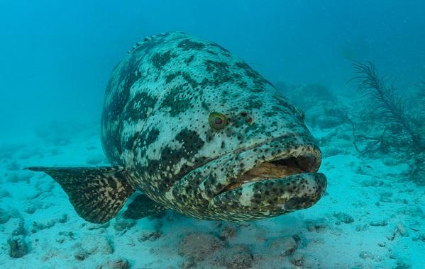 Групер-рыба-Описание-особенности-и-среда-обитания-рыбы-групер-16