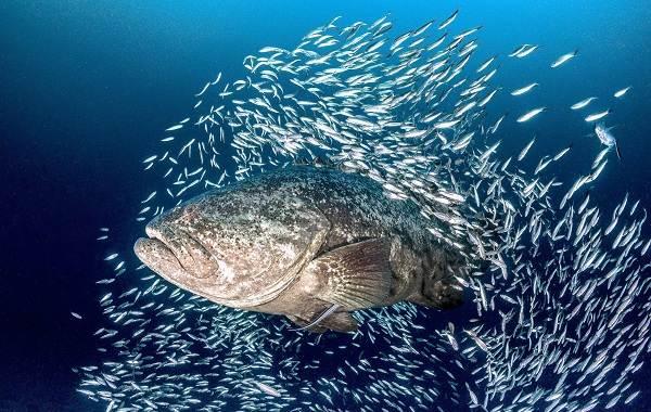 Групер-рыба-Описание-особенности-и-среда-обитания-рыбы-групер-2