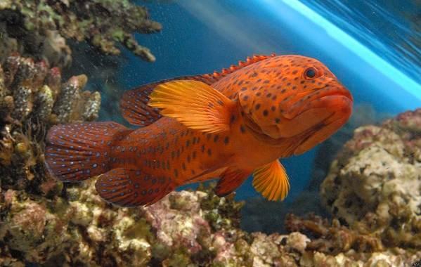 Групер-рыба-Описание-особенности-и-среда-обитания-рыбы-групер-8