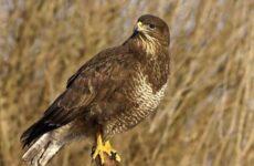 Канюк птица. Описание, особенности, образ жизни и среда обитания канюка