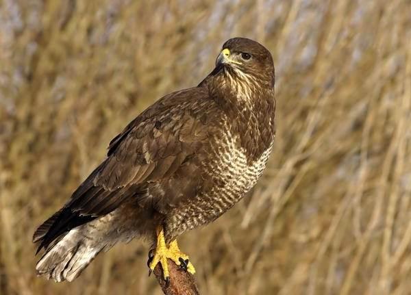 Канюк-птица-Описание-особенности-образ-жизни-и-среда-обитания-канюка-1