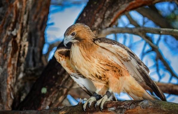 Канюк-птица-Описание-особенности-образ-жизни-и-среда-обитания-канюка-10