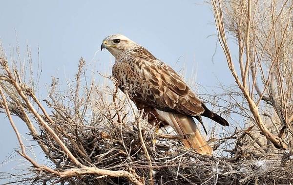 Канюк-птица-Описание-особенности-образ-жизни-и-среда-обитания-канюка-11