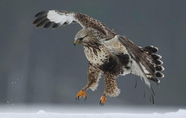 Канюк-птица-Описание-особенности-образ-жизни-и-среда-обитания-канюка-12