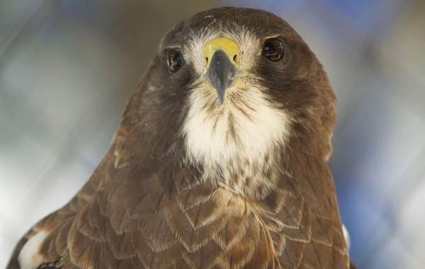 Канюк-птица-Описание-особенности-образ-жизни-и-среда-обитания-канюка-13