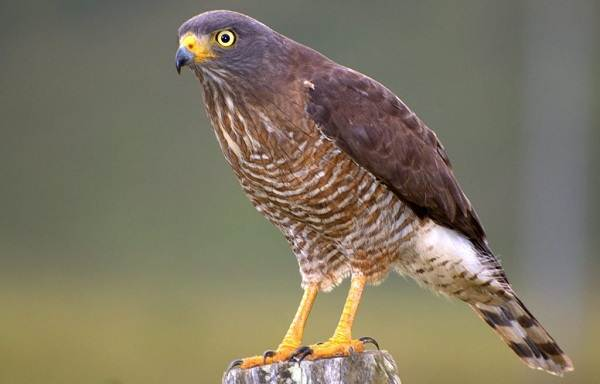 Канюк-птица-Описание-особенности-образ-жизни-и-среда-обитания-канюка-14
