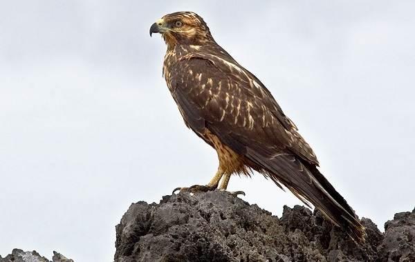 Канюк-птица-Описание-особенности-образ-жизни-и-среда-обитания-канюка-15