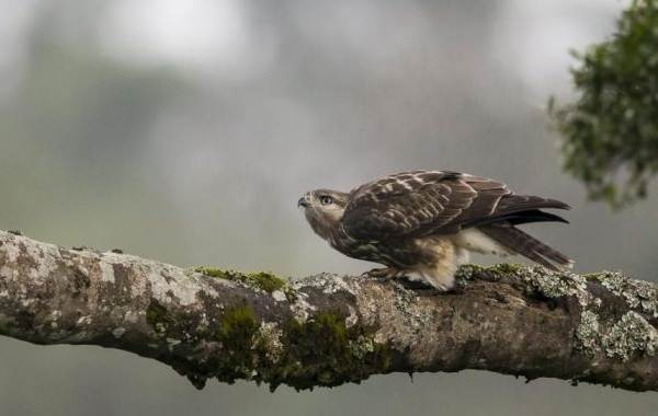 Канюк-птица-Описание-особенности-образ-жизни-и-среда-обитания-канюка-16