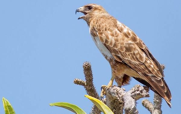 Канюк-птица-Описание-особенности-образ-жизни-и-среда-обитания-канюка-17