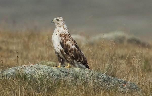 Канюк-птица-Описание-особенности-образ-жизни-и-среда-обитания-канюка-18