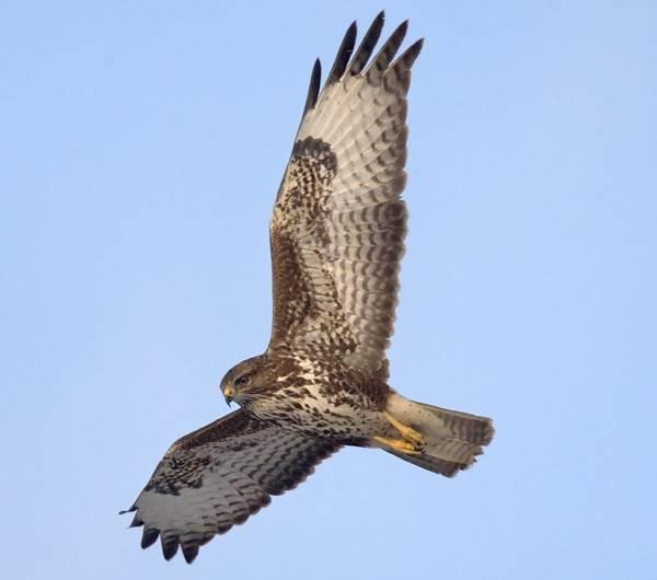 Канюк-птица-Описание-особенности-образ-жизни-и-среда-обитания-канюка-2