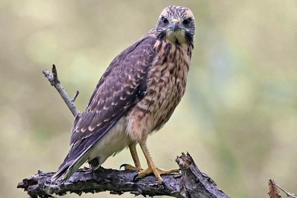 Канюк-птица-Описание-особенности-образ-жизни-и-среда-обитания-канюка-21