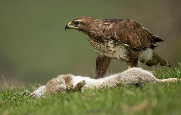 Канюк-птица-Описание-особенности-образ-жизни-и-среда-обитания-канюка-22
