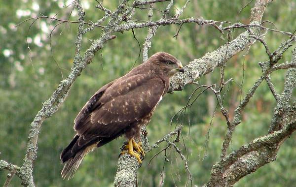 Канюк-птица-Описание-особенности-образ-жизни-и-среда-обитания-канюка-23