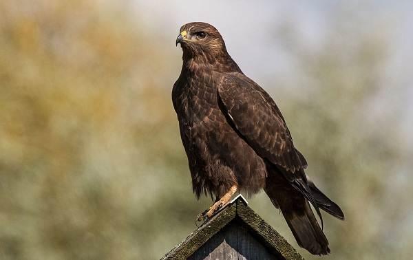 Канюк-птица-Описание-особенности-образ-жизни-и-среда-обитания-канюка-24