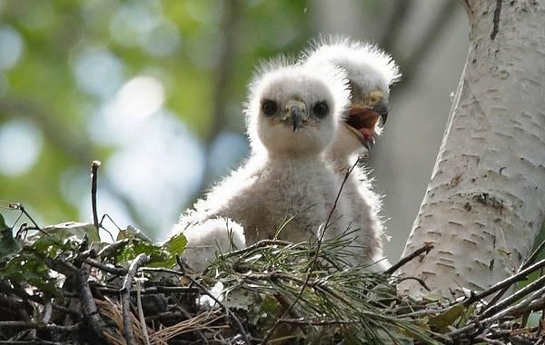 Канюк-птица-Описание-особенности-образ-жизни-и-среда-обитания-канюка-25