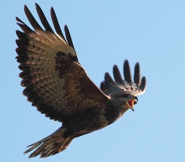 Канюк-птица-Описание-особенности-образ-жизни-и-среда-обитания-канюка-4