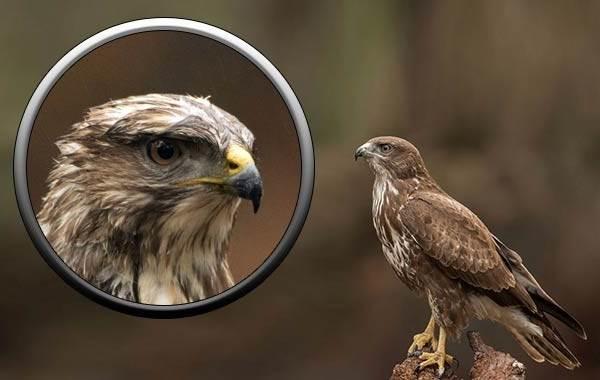 Канюк-птица-Описание-особенности-образ-жизни-и-среда-обитания-канюка-5