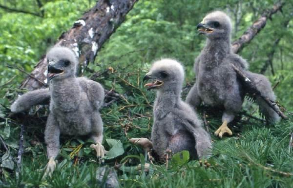 Канюк-птица-Описание-особенности-образ-жизни-и-среда-обитания-канюка-6
