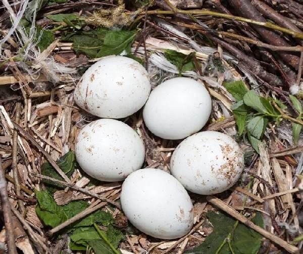 Канюк-птица-Описание-особенности-образ-жизни-и-среда-обитания-канюка-7