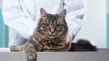 Кастрация кота. Описание, особенности и цена процедуры кастрации кота