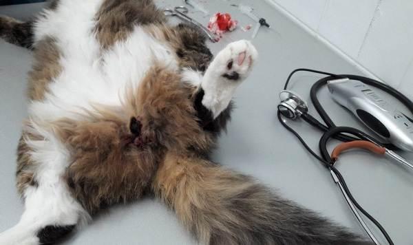 Кастрация-кота-Описание-особенности-и-цена-процедуры-кастрации-кота-5