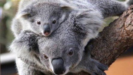 Коала животное. Описание, особенности, образ жизни и среда обитания коалы