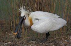 Колпица птица. Описание, особенности, образ жизни и среда обитания колпицы