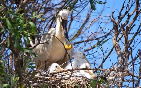 Колпица-птица-Описание-особенности-образ-жизни-и-среда-обитания-колпицы-11