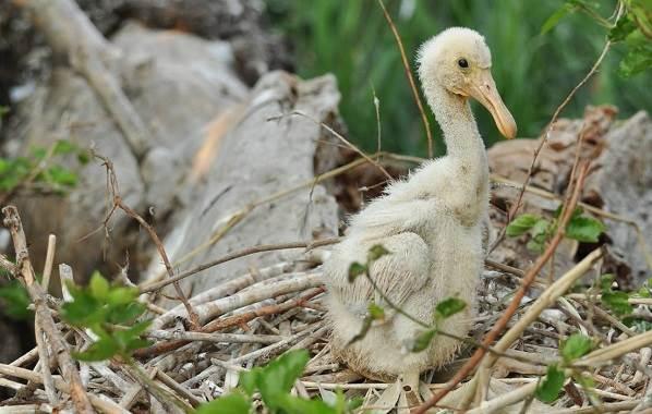 Колпица-птица-Описание-особенности-образ-жизни-и-среда-обитания-колпицы-12