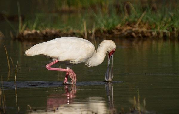 Колпица-птица-Описание-особенности-образ-жизни-и-среда-обитания-колпицы-14