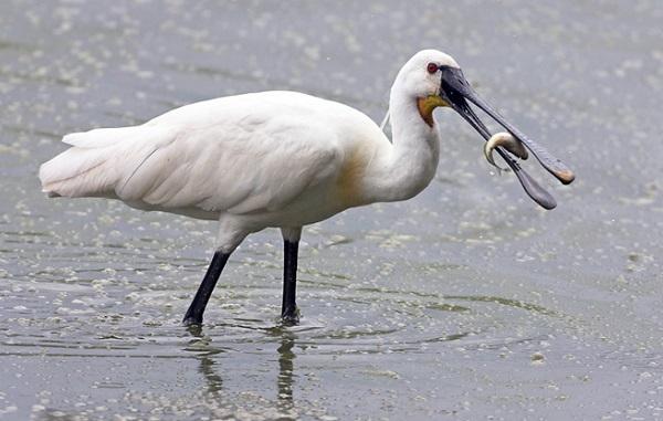 Колпица-птица-Описание-особенности-образ-жизни-и-среда-обитания-колпицы-15