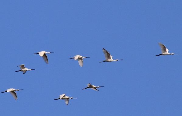 Колпица-птица-Описание-особенности-образ-жизни-и-среда-обитания-колпицы-16