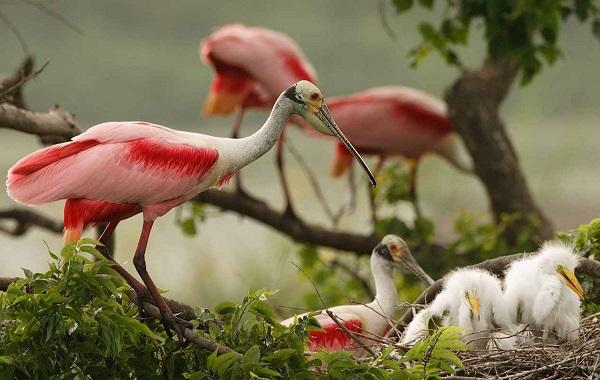 Колпица-птица-Описание-особенности-образ-жизни-и-среда-обитания-колпицы-17