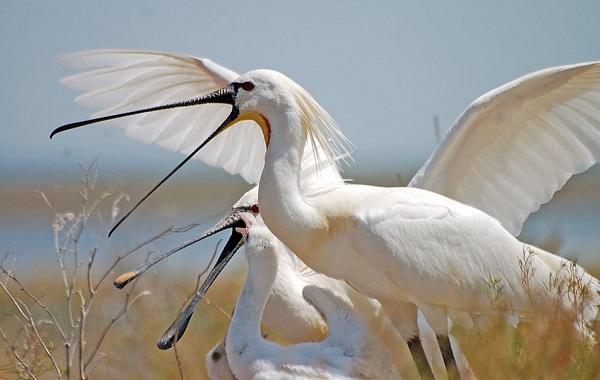 Колпица-птица-Описание-особенности-образ-жизни-и-среда-обитания-колпицы-18