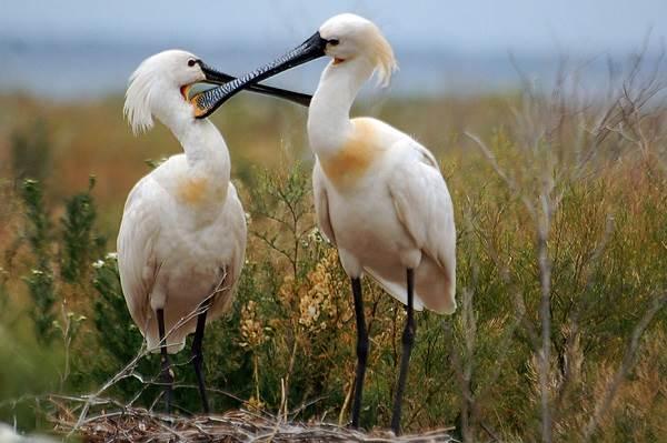 Колпица-птица-Описание-особенности-образ-жизни-и-среда-обитания-колпицы-2