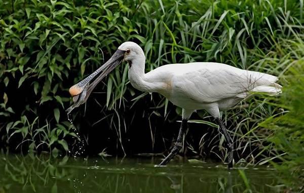 Колпица-птица-Описание-особенности-образ-жизни-и-среда-обитания-колпицы-3