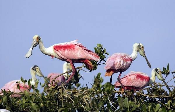 Колпица-птица-Описание-особенности-образ-жизни-и-среда-обитания-колпицы-4