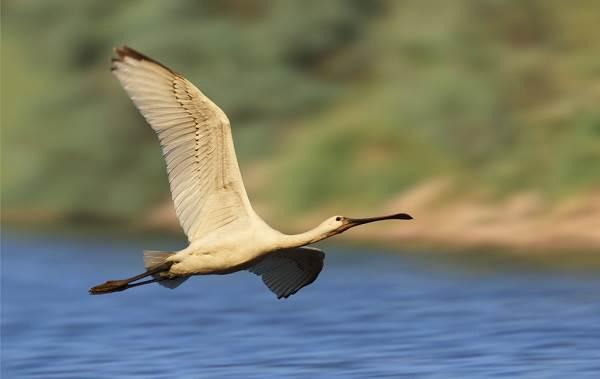 Колпица-птица-Описание-особенности-образ-жизни-и-среда-обитания-колпицы-5