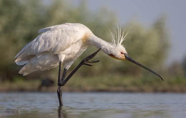 Колпица-птица-Описание-особенности-образ-жизни-и-среда-обитания-колпицы-9