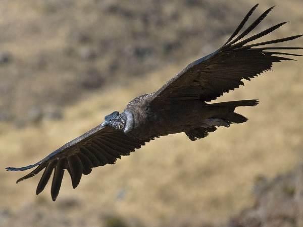 Кондор-птица-Описание-особенности-образ-жизни-и-среда-обитания-кондора-1