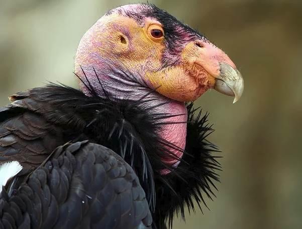 Кондор-птица-Описание-особенности-образ-жизни-и-среда-обитания-кондора-2