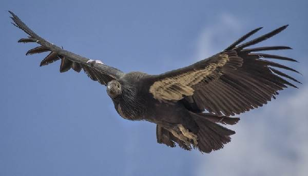 Кондор-птица-Описание-особенности-образ-жизни-и-среда-обитания-кондора-5